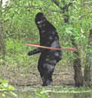 This grainy photograph was originally thought to capture evidence of a Sasquatch, or Bigfoot, in the Routt County National Forest. Upon further investigation, the dirty and hairy humanoid turned out to be a harmless hippy.